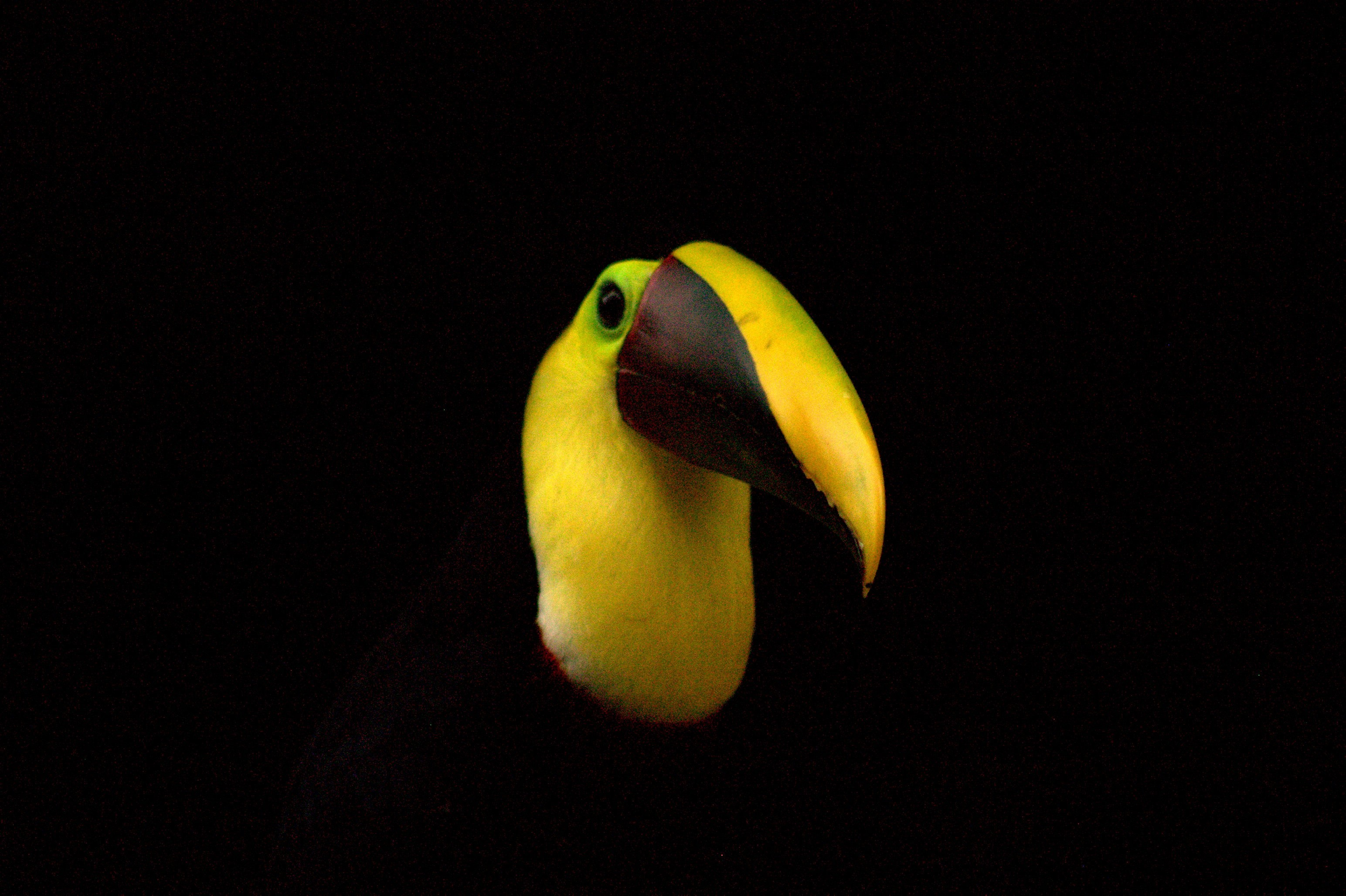 Yellow throated toucan