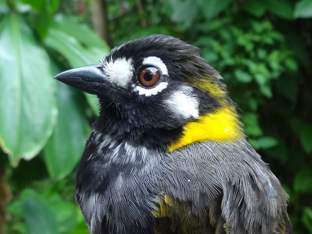 ground sparrow
